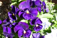 Pansies in Purples