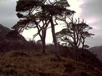 Old Scottish Pines.