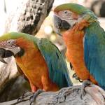 """Harlequin Macaws"" by buffaloworks"