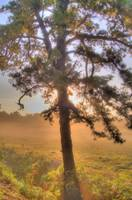Pitch Pine Sunrise HDR