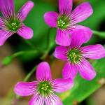 """violet wood sorrel"" by Redglasses"