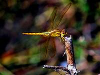 dragonfly goldplated