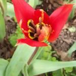 """red tulip"" by Texasflintoid"