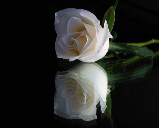 One White Rose and Pain for Him For H...