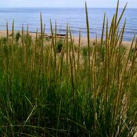 Dune Grass by the Lake Art Prints & Posters by Michelle Calkins