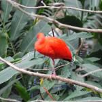 """""""Scarlet Ibis 1"""" by kokomo"""