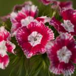 """Pinks"" by AlluringDigital"
