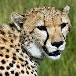 """Cheetah"" by pluppy"