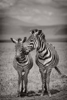 Grant's zebra and her foal