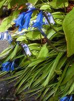 Bluebells for Constance