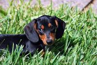 Doxie Puppy