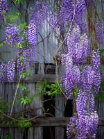 Wisteria - Growing on Old Barn