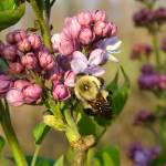 """""""Lilac Bumblebee"""" by teenolan"""
