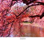 """Washington DC Cherry trees"" by TomJelen"