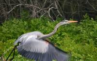 Heron Taking Flight