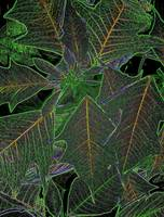 Green Poinsettia abstract