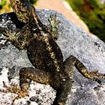 """Table Mountain lizard"" by chelseashoesmith"