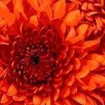 """Chrysanthemum"" by Schambon"
