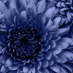 """Blue Chrysanthemum"" by Schambon"