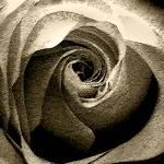 """Rose"" by Schambon"