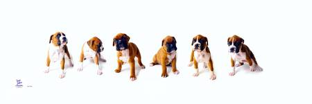 Six Pack  Boxer puppies
