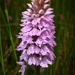 """Heath Spotted-orchid"" by roger"