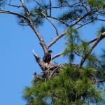 """Bald Eagle Baby"" by weberquinn3025"