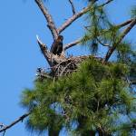 """""""Bald Eagle Baby in nest"""" by weberquinn3025"""