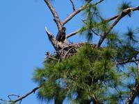 Bald Eagle Baby in nest