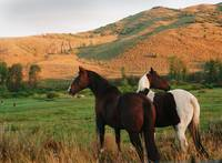 Two Horses in Field