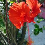 """HIBISCUS FLOWERS -2"" by billdelaluz"