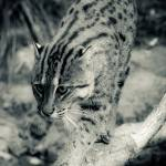 """Fishing Cat"" by EyeInVision"