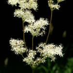 """Meadowsweet"" by roger"