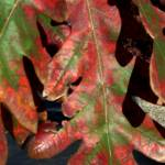 """Fall Oak Leaves"" by PhotosforFun"