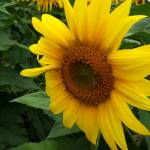 """Sunflower 5"" by PhotosforFun"