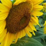"""Sunflower 6"" by PhotosforFun"