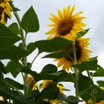 """Sunflowers 4"" by PhotosforFun"