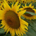 """Two Sunflowers"" by PhotosforFun"