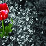"""Tulip Standing Tall"" by chrisromano"