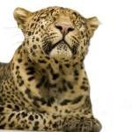 """Leopard portrait"" by IanMiddletonphotography"