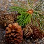 """""""Pinecones"""" by aganarmon"""