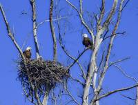 eagles 2 adults  2 babies