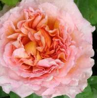 Frilly Rose