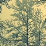 """Snowy Trees"" by calabashstudio"