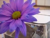 Lonely Purple Daisy
