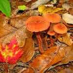 """""""Mushrooms And Maple Leaves"""" by Lorraine_Sommer"""