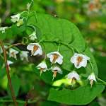 """""""Deerberry Blooms"""" by Lorraine_Sommer"""