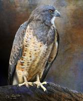 a proud old swainson's hawk