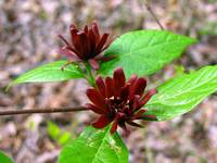 Sweet Shrub Buds
