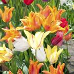 """Tulip Series: Colors"" by halehmahbod"